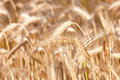 Yellow grain - useful as background Royalty Free Stock Photo