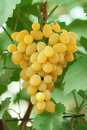 Yellow grape cluster with leaves on vine Royalty Free Stock Photo
