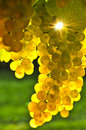 Yellow grapes Royalty Free Stock Photography