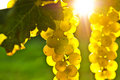 Yellow grapes Stock Photography
