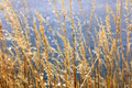 Yellow grass coastal reed dry by the lake with the glittering splendor of the lake Stock Image
