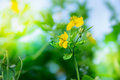 Yellow greater celandine flower on green blurred nature background outdoor Stock Photos