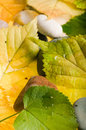 Yellow and green autumn  leaves Stock Image