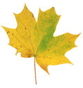 Yellow and green autumn maple leaf isolated on white background Royalty Free Stock Photo