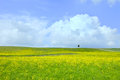 Yellow green field, tree and light cloudy blue sky Stock Photo