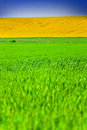 Yellow and Green Fields Royalty Free Stock Photography