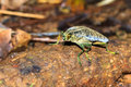 Yellow-green Jewel Beetle Royalty Free Stock Photo