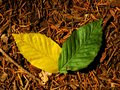 Yellow and green leaves comparison during autumn