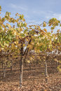 Yellow and Green  Leaves on Grape Vines. Royalty Free Stock Photo