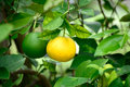 Yellow green orange tree Stock Images