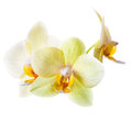 Yellow green orchid on white background Stock Photos