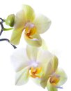 Yellow green orchid on white background Stock Image