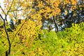 Yellow and green trees Royalty Free Stock Photo