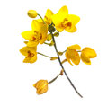 Yellow ground orchids flower isolated on white Royalty Free Stock Photo