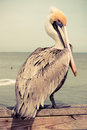 Yellow head pelican at a beach in florida with retro effect Stock Photography
