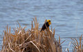 Yellow headed black bird a on brown grass by visitors center lake refuge in mile house british columbia canada Royalty Free Stock Photography