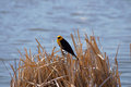 Yellow headed black bird a on brown grass by visitors center lake refuge in mile house british columbia canada Stock Photo