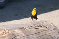 Yellow headed black bird a on brown log by visitors center lake refuge in mile house british columbia canada Stock Images