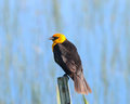 Yellow headed blackbird on fencepost a resting the top of a metal Royalty Free Stock Photography