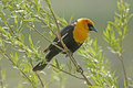 Yellow-headed Blackbird male Stock Image