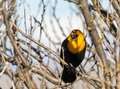 Yellow Headed Blackbird Royalty Free Stock Photo