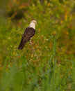 Yellow-headed Caracara Stock Photos