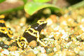 Yellow headed poison frog or banded dart dendrobates leucomelas in south america Stock Photo