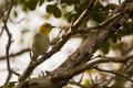 Yellow-headed Warbler on a branch