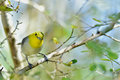 The yellow-headed warbler (Teretistris fernandinae)