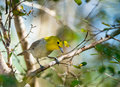 The yellow-headed warbler (Teretistris fernandinae). Yellow-headed Warbler (Teretistris fernandinae) adult male, perched on twig,