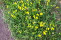 Yellow herbs with grass Royalty Free Stock Photo