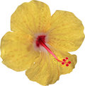 Yellow hibiscus bloom isolated on white illustration with background Stock Photo