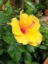 Yellow hibiscus closeup Royalty Free Stock Photo