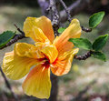 Yellow hibiscus flower head close up Royalty Free Stock Photo