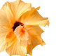 Yellow Hibiscus flower - isolated on white Royalty Free Stock Photo