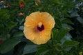 Yellow hibiscus flower Royalty Free Stock Photo
