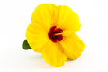 Yellow hibiscus flower. Royalty Free Stock Photo