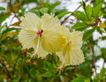 Yellow hibiscus flowers blooming at singapore botanic gardens Stock Images