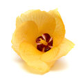 Yellow Hibiscus grewiifolius Hassk flower Royalty Free Stock Photo