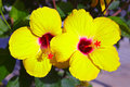Yellow hibiscus two flowers on plant Royalty Free Stock Images