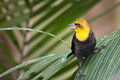 Yellow hooded blackbird a calling Stock Photos