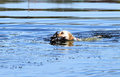 The yellow hunting labrador retrieving young retriever a duck in pond Royalty Free Stock Photography