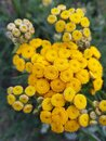Yellow inflorescences of medicinal tansy flower Royalty Free Stock Photo