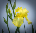 Yellow iris and blooms a pale ready to flower Stock Photo
