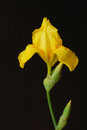 Yellow iris flower against the background of Royalty Free Stock Image