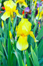 Yellow iris flower on green background the flowerbed Royalty Free Stock Photography