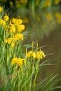 Yellow iris flowers Royalty Free Stock Photo