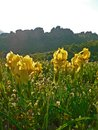 Yellow Iris Iridaceae flowers on a cliff background. Royalty Free Stock Photo