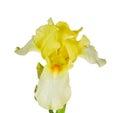 Yellow iris isolated on white Royalty Free Stock Photo