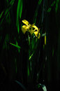 Yellow iris pseudacorus a beautiful spotted by the waterside closeup or flag a wildflower with sword Stock Images